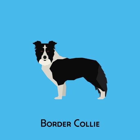 Geïsoleerde border collie op een blauwe achtergrond