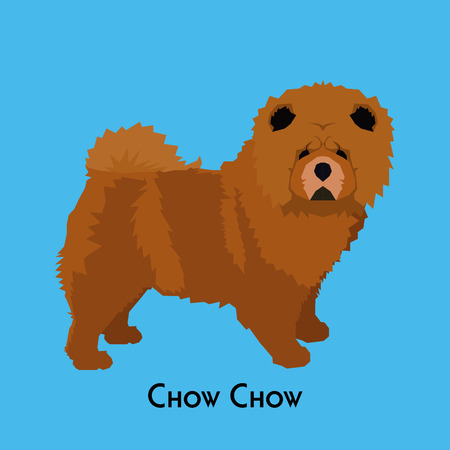 chow: Isolated chow chow on a blue background
