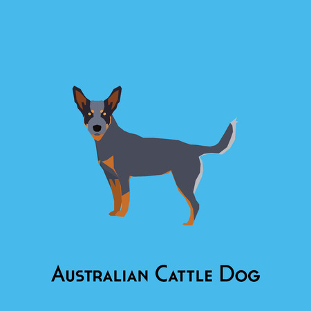 Isolated Australian Cattle dog on a blue background