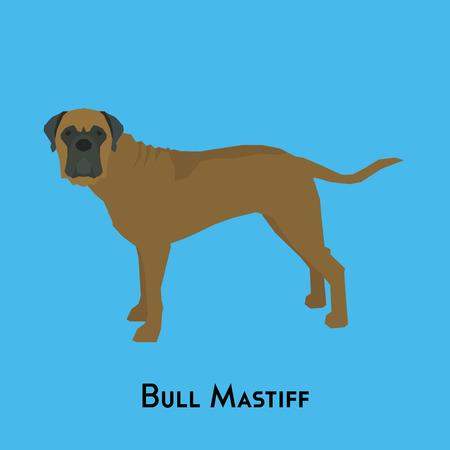 bull mastiff: Isolated bull mastiff on a blue background