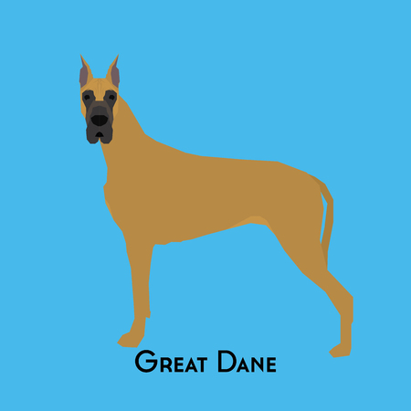 dane: Isolated great dane on a blue background
