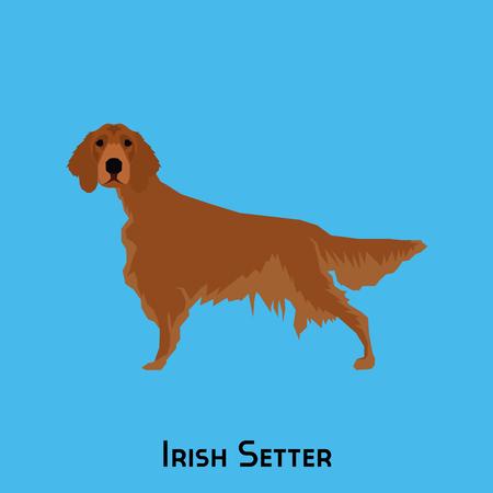 setter: Isolated Irish Setter on a blue background