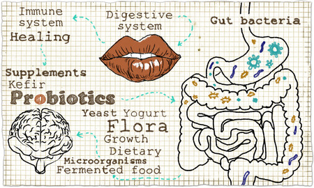 intestinal flora: Illustration about the Digestive System