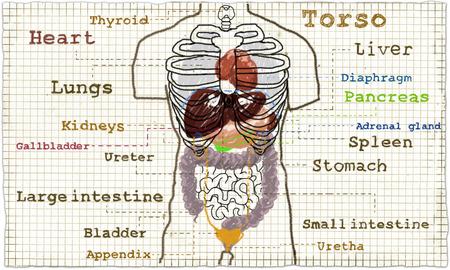 Torso Anatomie Darstellung der inneren Organe, Drüsen und Eingeweide Standard-Bild - 80381484