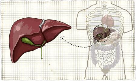 Die Leber (menschliche Anatomie) Illustration auf altem Papier Standard-Bild - 82892002