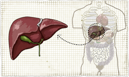 The Liver (Human Anatomy) Illustration on Old Paper Stock Photo