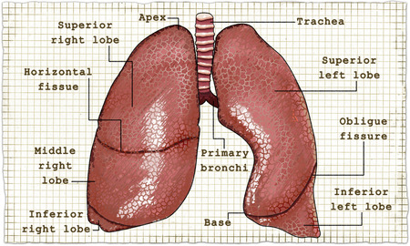 Lungen Anatomie mit Worten auf altem Papier Standard-Bild - 83625921