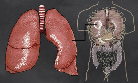 whooping: Lung Anatomy illustrated with Torso on Blackboard Stock Photo