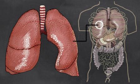 Lungenanatomie mit Torso auf Tafel illustriert Standard-Bild - 83625922