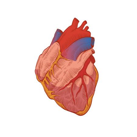 bosom: La mano del coraz�n dibujado aislado en un fondos blancos Vectores