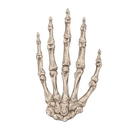 Mano scheletro, illustrazione vettoriale