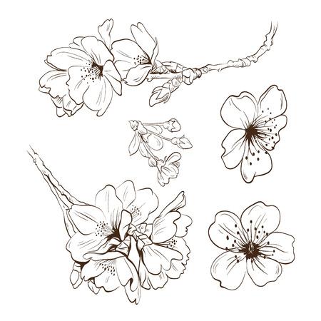 cherry blossom illustration: Flowers hand drawn, vector illustration Illustration