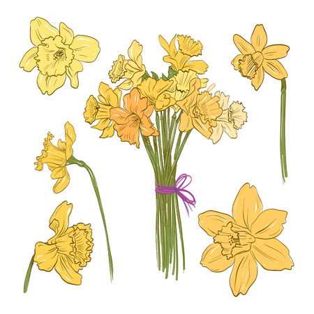 jonquil: Narcissus bouquet hand drawn, vector illustration Illustration