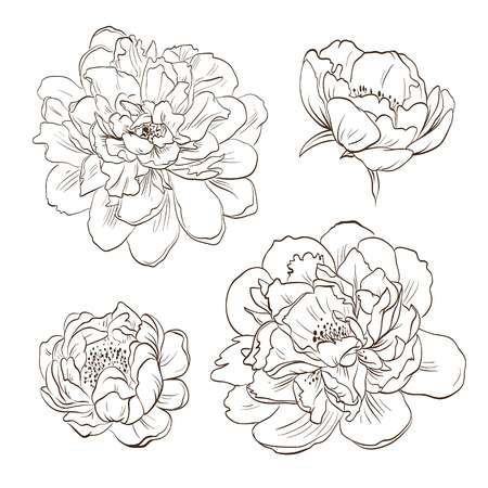 Peony bud hand drawn, vector illustration