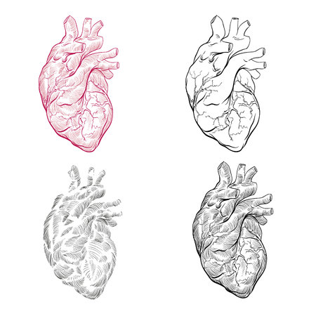 Human heart hand drawn isolated on a white backgrounds. Anatomical sketch. Vector illustration.