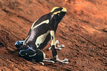 yellow and black poison dart frog: painted poison dart frog Dendrobates tinctorius macro of a beautiful poisonous amphibian