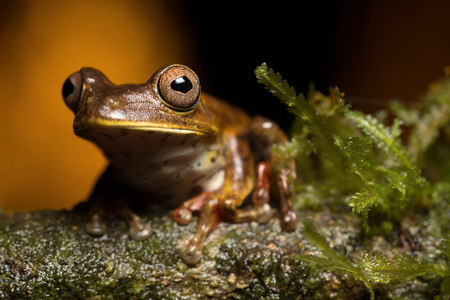 treefrog: tropical tree frog Hypsiboas geograficus from the Amazon rain forest with beautiful eyes