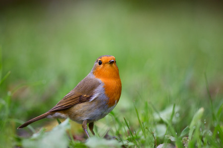 redbreast: Red robin (Erithacus rubecula) foraging on the ground between the green grass. This singing bird often lives in gardens