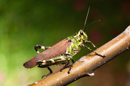 feelers: colorful grasshopper on a twig with nice green background Stock Photo