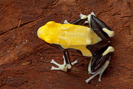 poison dart frog: poison dart frog yellow back dendrobates tinctorius in the Amazon rainforest this poisonous animal lives from tropical rain forest of Brazil, suriname and French guyana