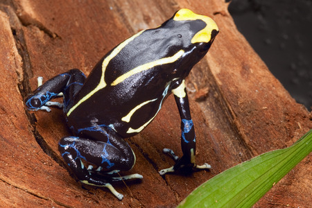 yellow and black poison dart frog: poison dart frog yellow back dendrobates tinctorius in the Amazon rainforest this poisonous animal lives from tropical rain forest of Brazil, suriname and French guyana