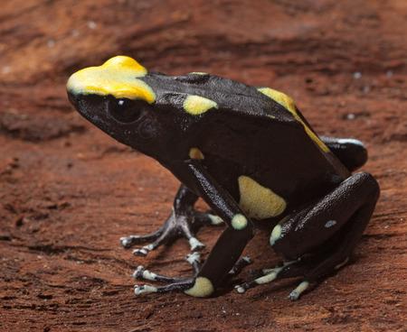 poison frog: rana venenosa amarilla volver dendrobates tinctorius en la selva amazónica esta venenosas vidas animales de bosque tropical lluvioso de Brasil, Surinam y Guyana Francesa