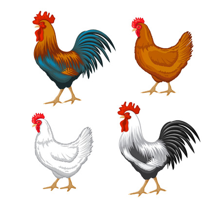 Chickens set vector illustration in Color. Brown and white Hen and Rooster. Male and female chickens set