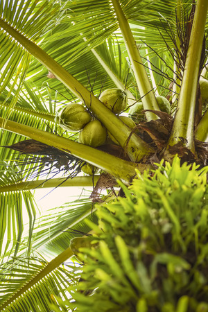 crone: Sweet cocounut tree. Trunk and crone of a palm tree with green cocounut. Cocounut claster on palm Stock Photo