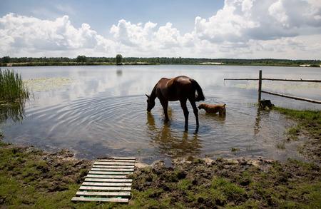 caballo bebe: Caballo y perro de agua potable en un lago de aguas claras. paisaje de fondo del paisaje Foto de archivo