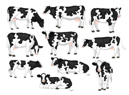 Holstein fresian black and white patched coat breed cattles set. Cows front, side view, walking, lying, gazing, eating, standing