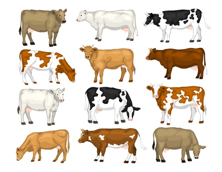 jersey cattle: Dairy cattles set. Swiss brown, ayrshire, holstein, milking white and brown shorthorns, guernsey and jersey cows collection.