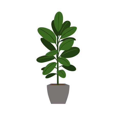 indoor houseplant rubber tree isolated vector graphic