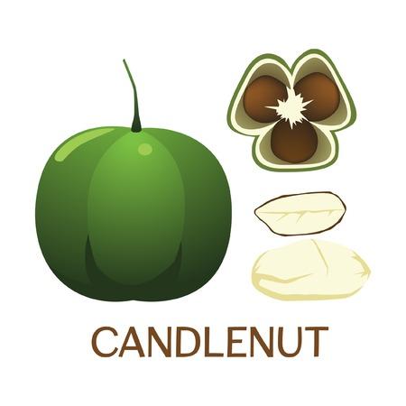 illustration of candlenut fruit