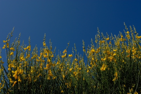 yellow gorse and blue sky in a sunny day Stock Photo - 16161570