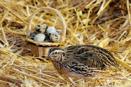 Chinese quail with a basket of quail eggs