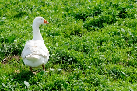 domestic goose grazing on a meadow photo