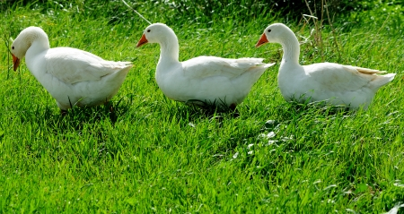 domestic geese grazing on a meadow photo