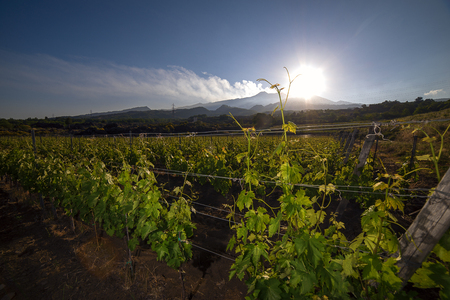 vineyard estate in Sicily in territory of Etna Stock Photo