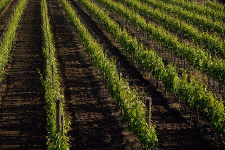 region sicilian: vineyard estate in Sicily in territory of Etna Stock Photo
