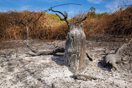 field planted with orange trees in Sicily burned by fire