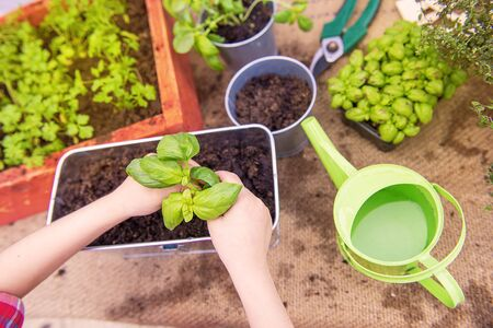 two hands are planting aromatic herbs in a garden