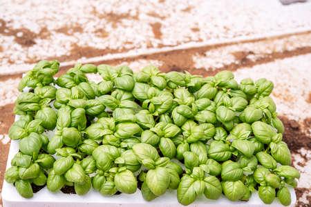 spring basil seedlings to transplant for the vegetable garden
