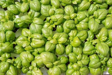 photograph of a pattern of green spring basil leaves