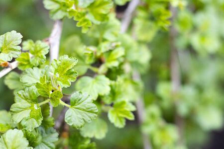 first spring green gooseberry leaves close-up. shrub seedlings ready for planting.