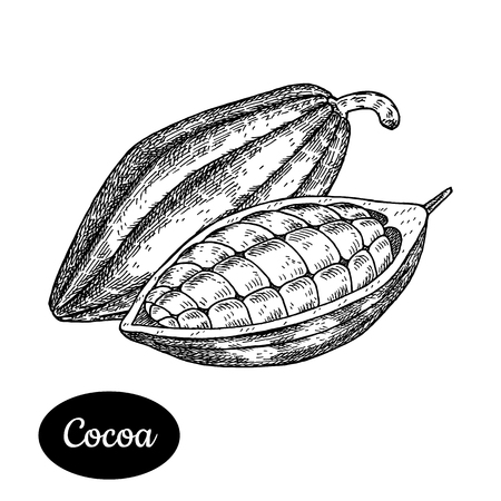 Cocoa bean. Hand drawn sketch style vector illustration. Isolated drawing on white background. Vitamin and healthy eco food. Chocolate ingredient. Farm market produce.