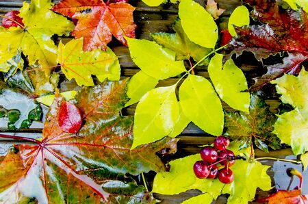 autumn background. multicolored maple leaves, wet from the rain. 写真素材