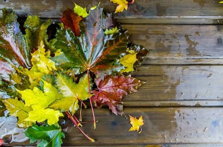 autumn background. multicolored maple leaves, wet from the rain. copy space 写真素材