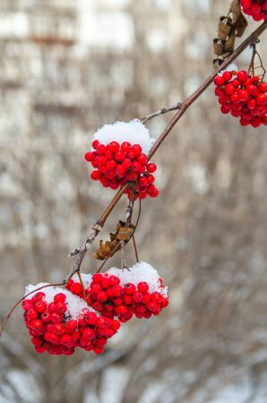 winter. frost. first snow on bunches of red ash