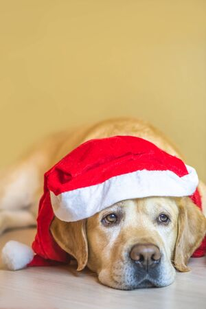 dog Labrador in a New Year's cap. New Year. Christmas. vertical. copy space