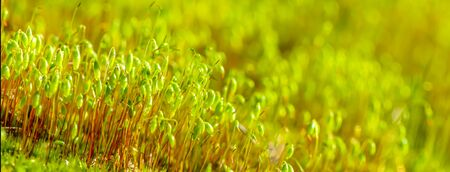 banner macro picture of beautiful moss spring background